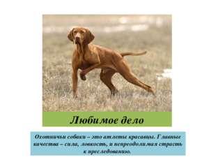 Любимое дело Охотничьи собаки – это атлеты красавцы. Главные качества – сила,