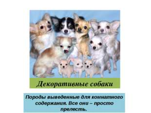 Декоративные собаки Породы выведенные для комнатного содержания. Все они – пр