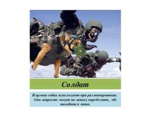 Солдат В армии собак используют при разминировании. Они запросто могут по зап