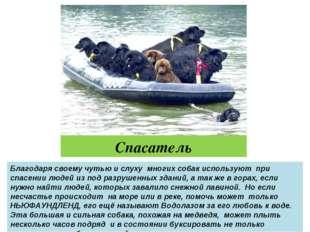 Спасатель Благодаря своему чутью и слуху многих собак используют при спасении