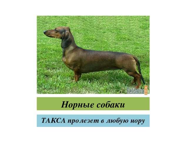 Норные собаки ТАКСА пролезет в любую нору