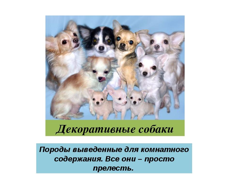 Декоративные собаки Породы выведенные для комнатного содержания. Все они – пр...