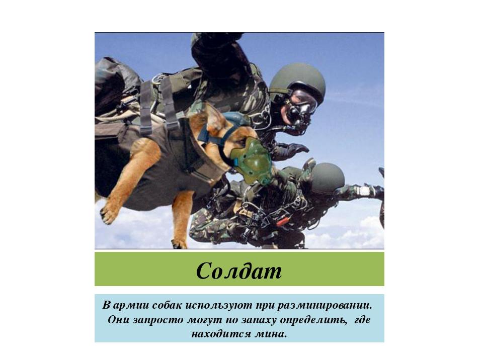 Солдат В армии собак используют при разминировании. Они запросто могут по зап...