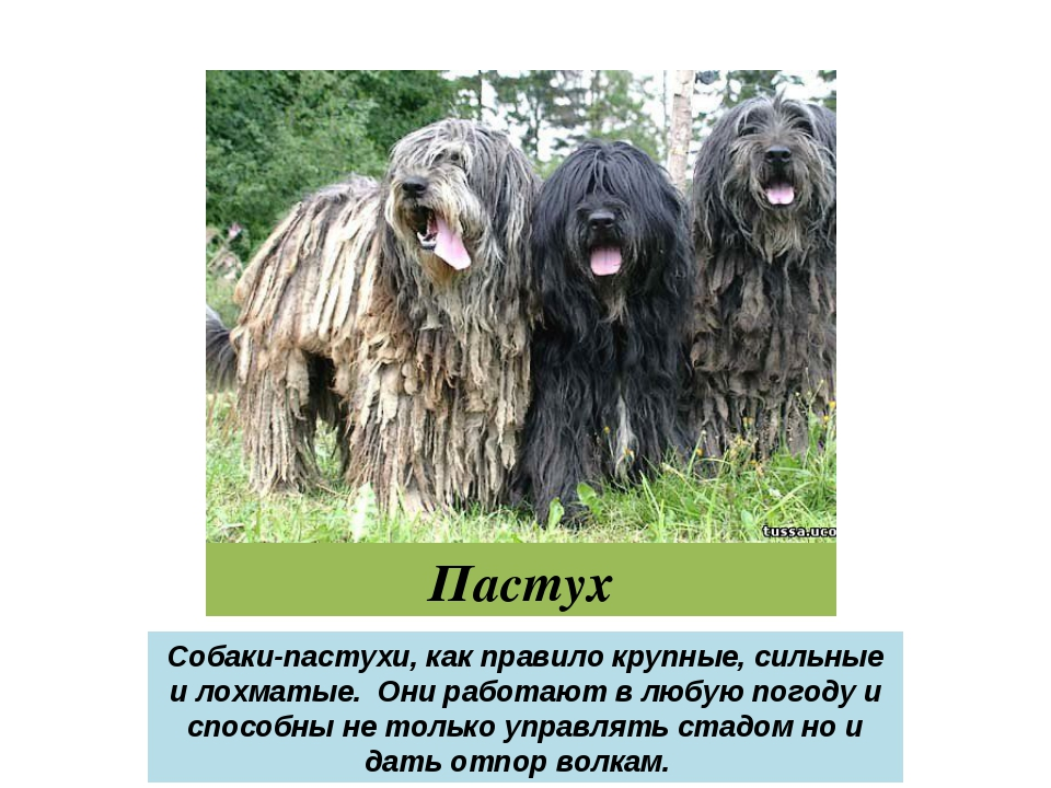 Пастух Собаки-пастухи, как правило крупные, сильные и лохматые. Они работают...