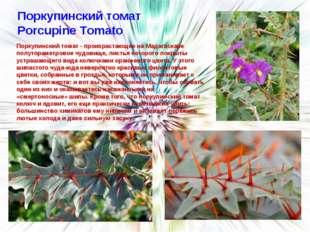 Поркупинский томат Porcupine Tomato Поркупинский томат - произрастающее на Ма