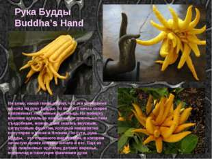 Рука Будды Buddha's Hand Не знаю, какой гений решил, что эта штуковина похожа