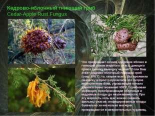 Кедрово-яблочный гниющий гриб Cedar-Apple Rust Fungus Что превращает сочное з