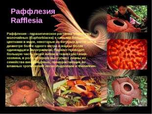 Раффлезия / Rafflesia Раффлезия Rafflesia Раффлезия - паразитическое растение