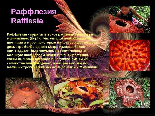 Раффлезия / Rafflesia Раффлезия Rafflesia Раффлезия - паразитическое растение...