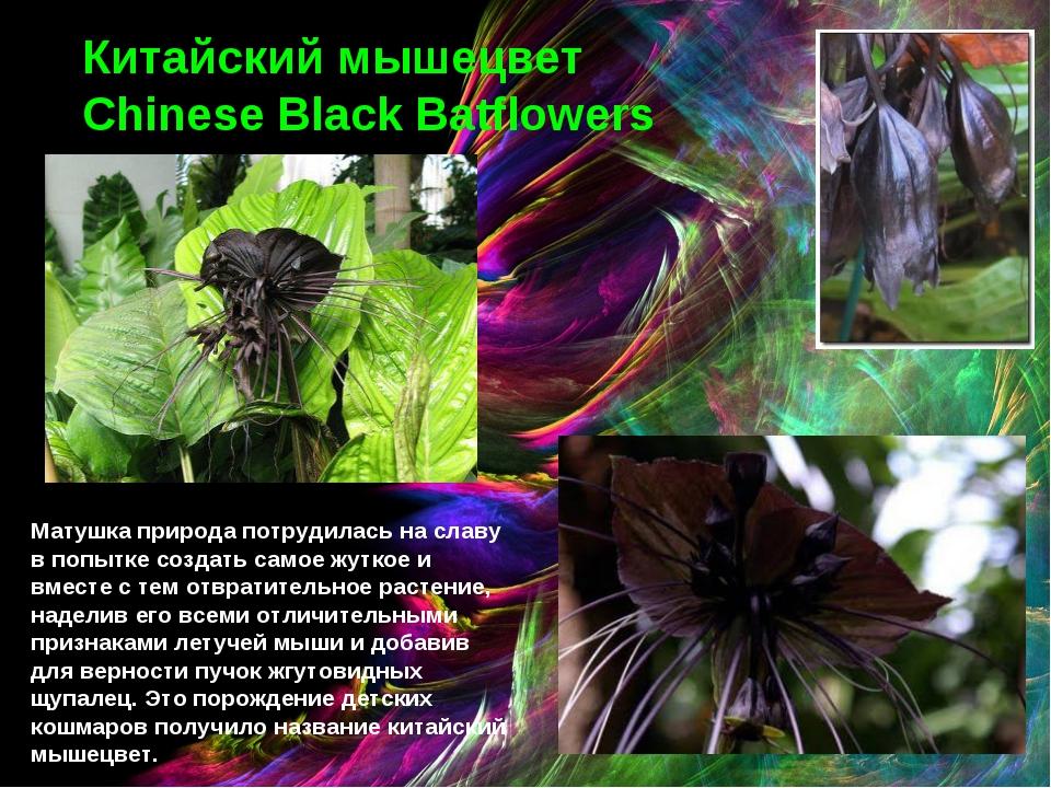 Китайский мышецвет Chinese Black Batflowers Матушка природа потрудилась на сл...