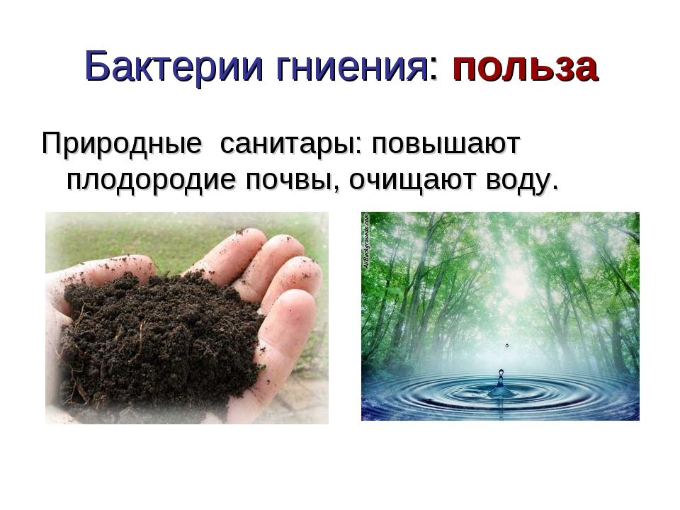 Бактерии гниения: польза Природные санитары: повышают плодородие почвы, очища...