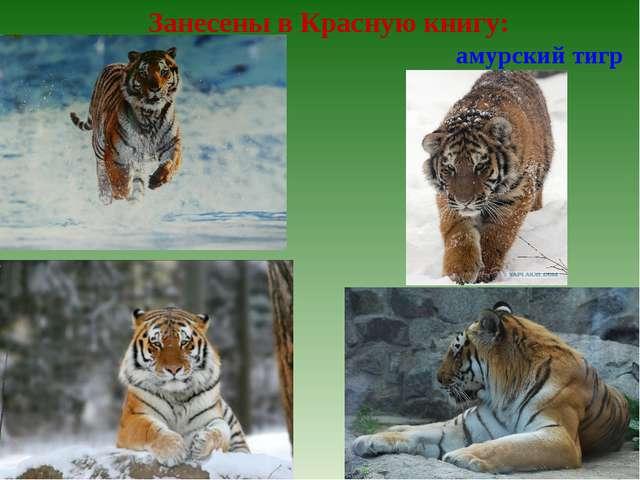 Занесены в Красную книгу: амурский тигр