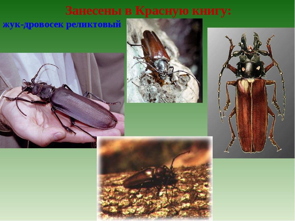 Занесены в Красную книгу: жук-дровосек реликтовый