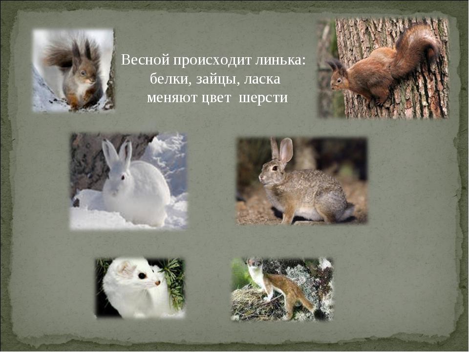 Весной происходит линька: белки, зайцы, ласка меняют цвет шерсти