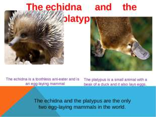 The echidna     and    the platypus