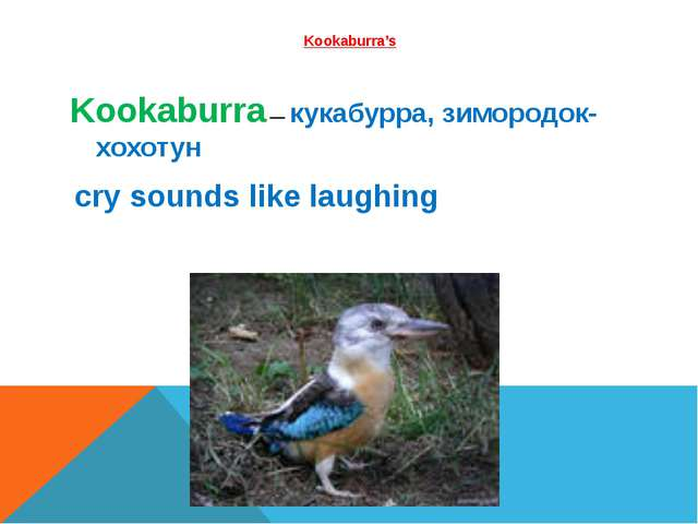 Kookaburra's 
