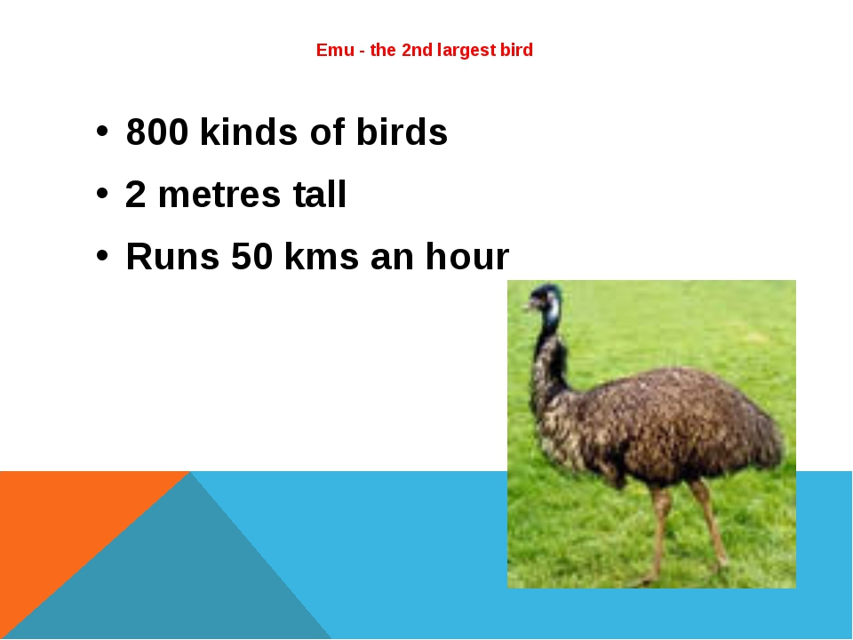 Emu - the 2nd largest bird  