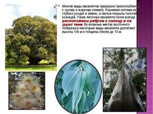 Многие виды эвкалиптов прекрасно приспособлены к сухому и жаркому климату. Ко