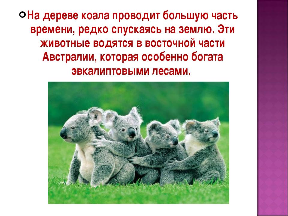 На дереве коала проводит большую часть времени, редко спускаясь на землю. Эти...