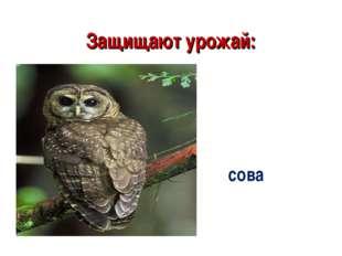 Защищают урожай: сова