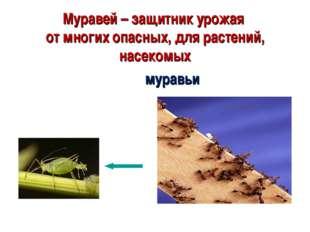 Муравей – защитник урожая от многих опасных, для растений, насекомых муравьи