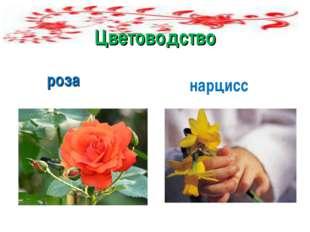 Цветоводство роза нарцисср
