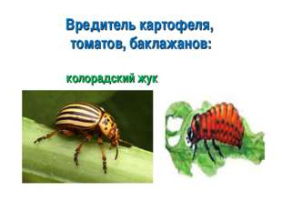 Вредитель картофеля, томатов, баклажанов: колорадский жук
