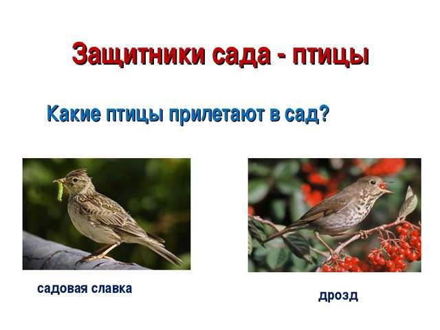 Защитники сада - птицы Какие птицы прилетают в сад? садовая славка дрозд