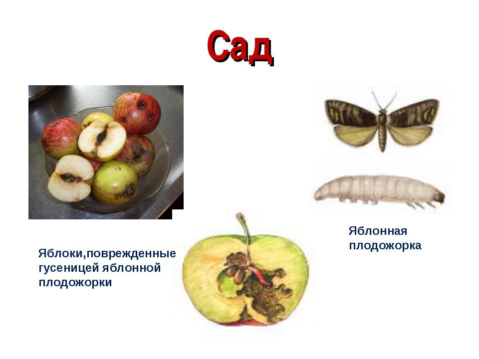 Сад яблонной плодожорки Яблоки,поврежденные гусеницей яблонной плодожорки Ябл...