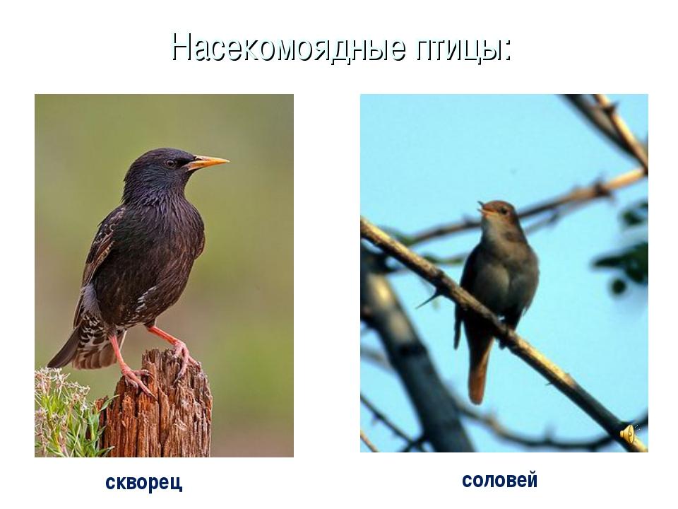 Насекомоядные птицы: скворец соловей