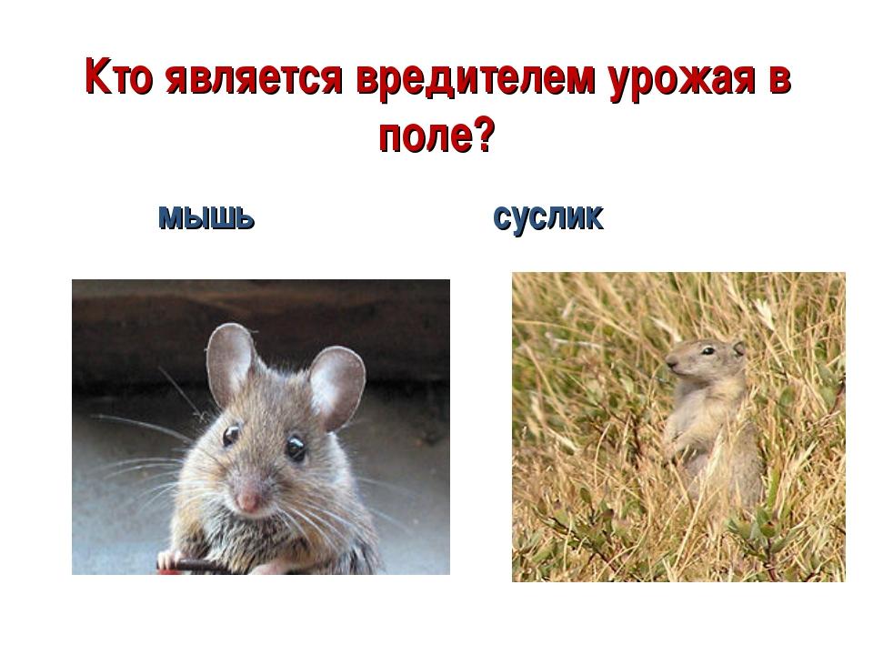 Кто является вредителем урожая в поле? мышь суслик