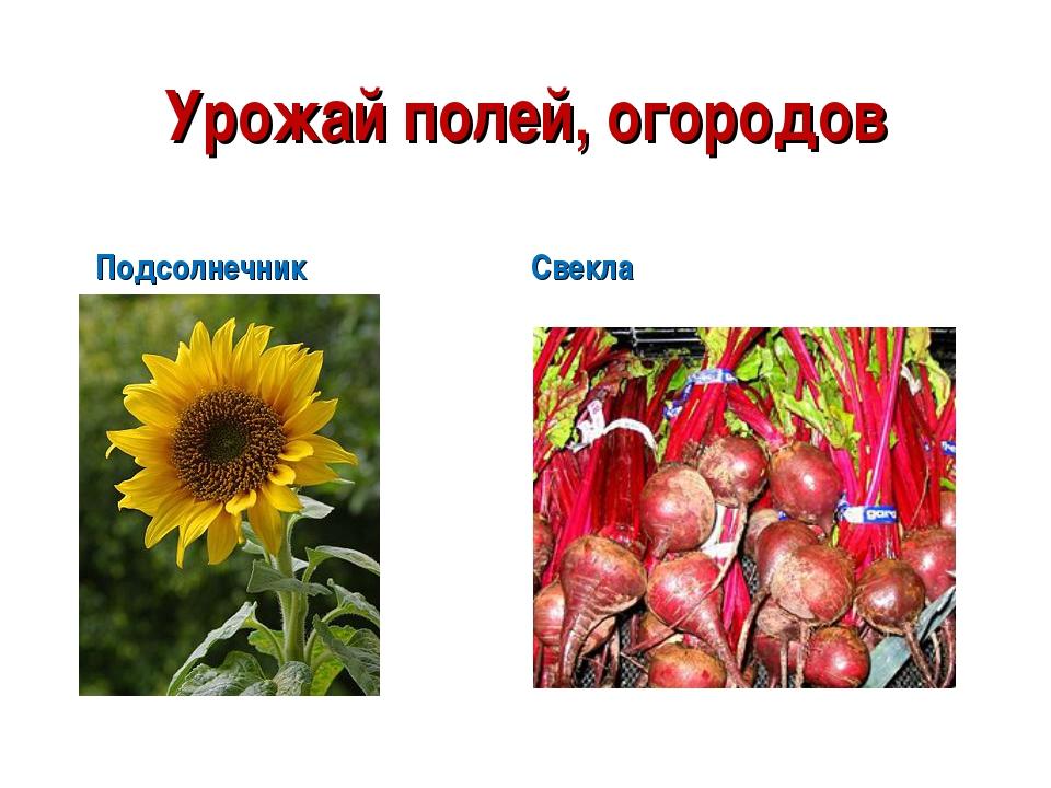 Урожай полей, огородов Подсолнечник Свекла