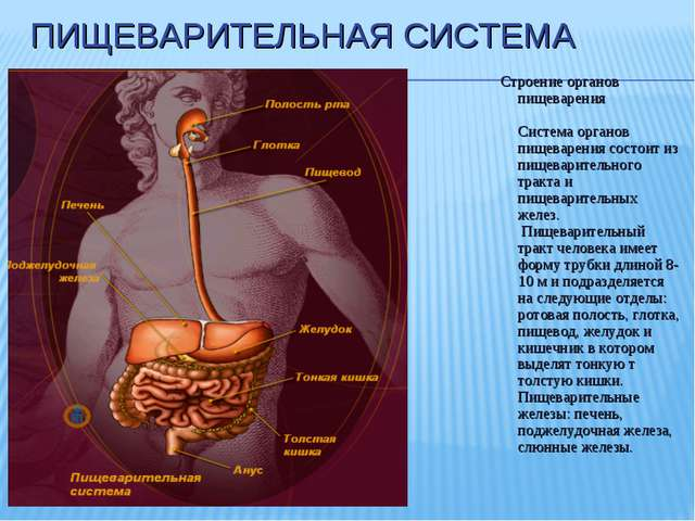 ПИЩЕВАРИТЕЛЬНАЯ СИСТЕМА Строение органов пищеварения Система органов пищеваре...
