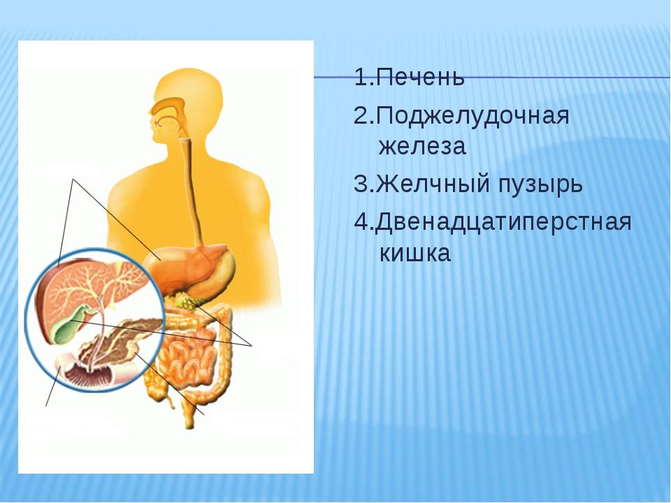 1.Печень 2.Поджелудочная железа 3.Желчный пузырь 4.Двенадцатиперстная кишка