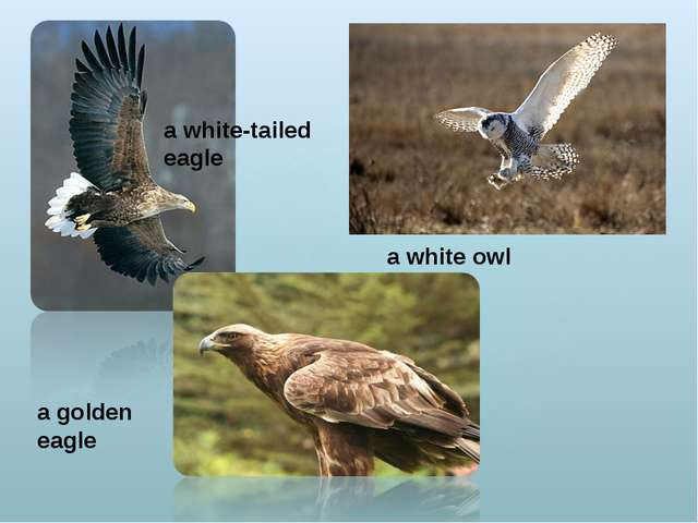 a golden eagle a white-tailed eagle a white owl