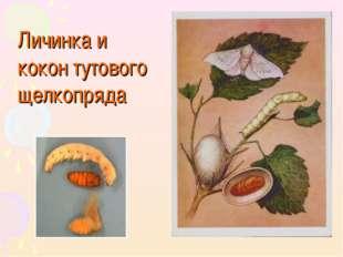 Личинка и кокон тутового щелкопряда
