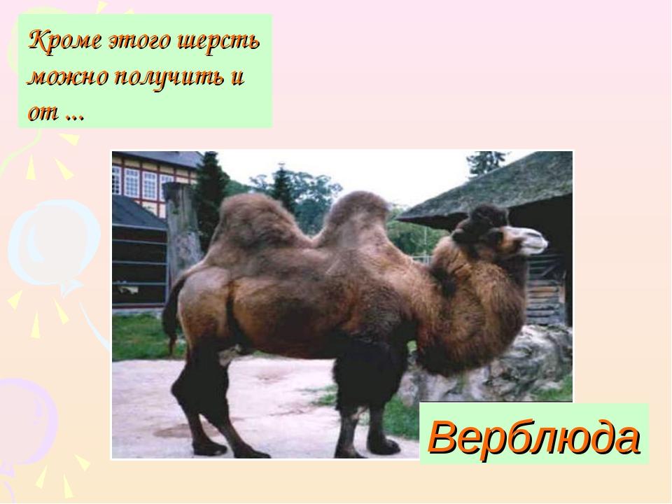 Верблюда Кроме этого шерсть можно получить и от ...
