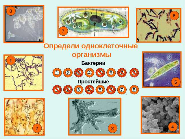 Определи одноклеточные организмы Бактерии Простейшие 1 2 3 4 5 6 7 8 1 5 6 7...
