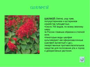ШАЛФЕЙ (Salvia), род трав, полукустарников и кустарников семейства губоцветны
