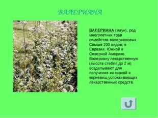 ВАЛЕРИАНА (маун), род многолетних трав семейства валериановых. Свыше 200 видо