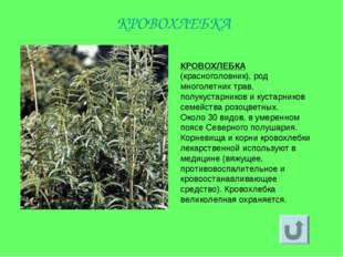 КРОВОХЛЕБКА (красноголовник), род многолетних трав, полукустарников и кустарн