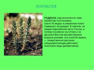 РОДИОЛА, род многолетних трав семейства толстянковых. Около 50 видов, в умере