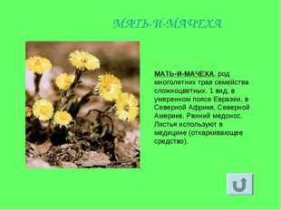 МАТЬ-И-МАЧЕХА, род многолетних трав семейства сложноцветных. 1 вид, в умеренн