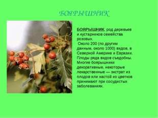 БОЯРЫШНИК, род деревьев и кустарников семейства розовых. Около 200 (по другим