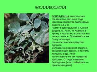 БЕЛЛАДОННА, многолетнее травянистое растение рода красавка семейства пасленов