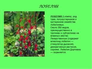 ЛОБЕЛИЯ (Lobelia), род трав, полукустарников и кустарников семейства лобелиев