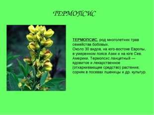ТЕРМОПСИС, род многолетних трав семейства бобовых. Около 30 видов, на юго-вос