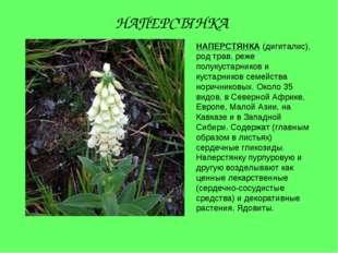 НАПЕРСТЯНКА (дигиталис), род трав, реже полукустарников и кустарников семейст