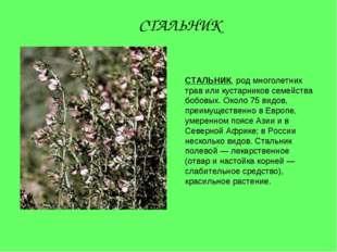 СТАЛЬНИК, род многолетних трав или кустарников семейства бобовых. Около 75 ви