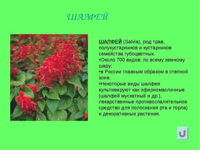 ШАЛФЕЙ (Salvia), род трав, полукустарников и кустарников семейства губоцветны...